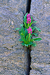 A lone parry primrose plant grows in a cracked granite wall in Rocky Mountain National Park, CO