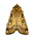 Fisher's Estuarine Moth - Gortyna borelii