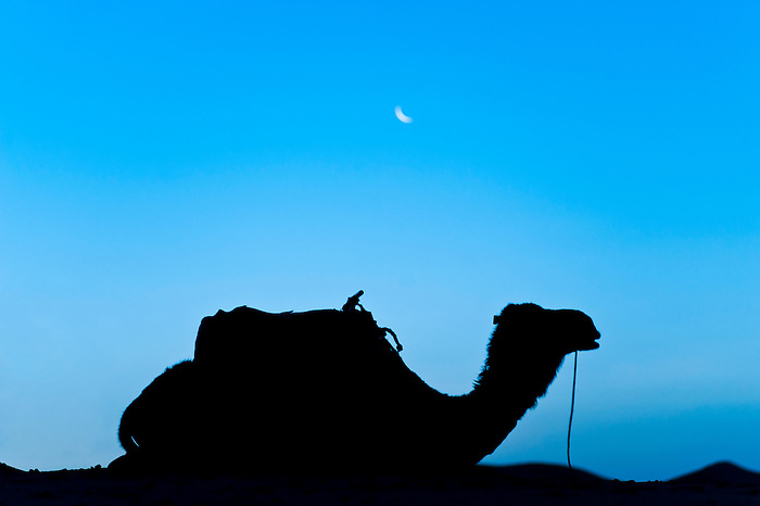 Silhouette of a camel in the desert at night, Erg Chebbi Desert, Morocco, North Africa. This photo shows camel (dromedary) silhouetted at night with the moon above it in the Erg Chebbi desert near Merzouga. The Erg Chebbi desert is famous for its enormous sand dunes, some reaching hundreds of meters high. The opportunity to do a camel ride in the desert in Morocco and sleep in the middle of the Erg Chebbi desert is not to be missed when travelling to Morocco.