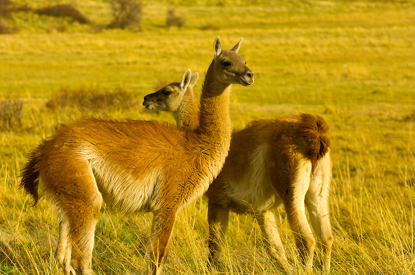 Guanaco,Torres del Paine National Park, Patagonia, Chile