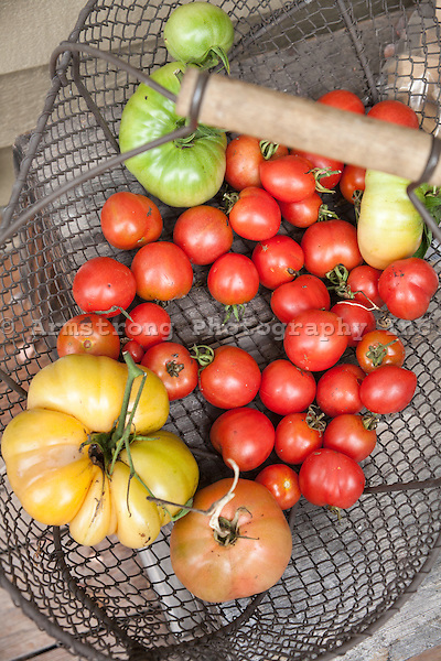 A wire basket filled with freshly harvested heirloom and cherry tomatoes.