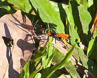 parasitic wasp w spider, Mary River, Kakadu NP, NT, Australia