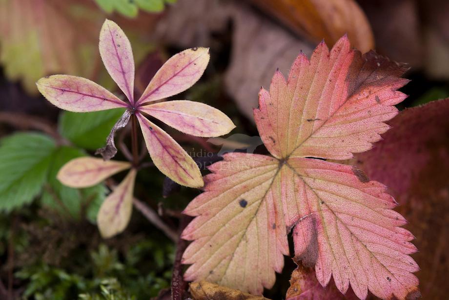 Lievevrouwebedstro (Galium odoratum) en Bosaardbei (Frageria vesca)