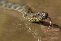 Four-lined snake, Elaphe quatuorlineata, Vierstreifennatter, near Nikopol, Bulgaria
