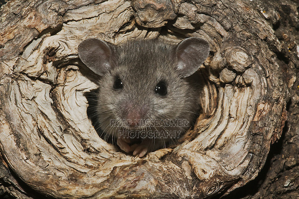 White-footed Mouse (Peromyscus leucopus), adult in tree hole, Sinton, Corpus Christi, Coastal Bend, Texas, USA
