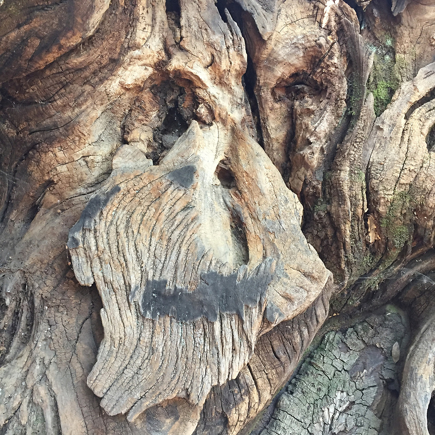 Face in Bark Detail, China Camp State Park, San Rafael, California, US