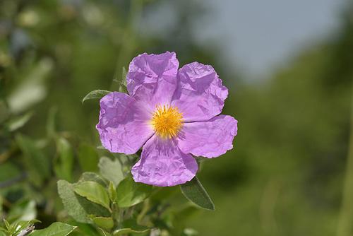 Pink Cistus - Cistus creticus
