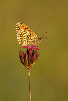 Nickerl's fritillary, Mellicta aurelia, wings closed roosting on purple flower, Bulgaria