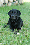 Black Labrador retriever (AKC) lying in the grass