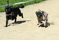1. Sächsisches Mopsrennen auf der Windhunderennbahn in Eilenburg - Piet (4) der schnellste Mops-Rüde und die schnellste Mops-Hündin Cosma (3,rechts) im Finale zum schnellsten Mops von allen. Foto: Norman Rembarz