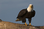 Close-up of a bald eagle perched on a tree at Homer, Alaska.