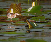 Least Bittern on Lily pad in early morning
