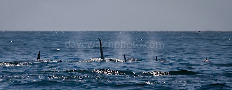 Male killer whale swimming amongst pod of female orcas, in Kenai Fjords National Park, Alaska...