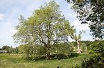 London plane tree growing in summer field, Sutton, Suffolk, England, UK