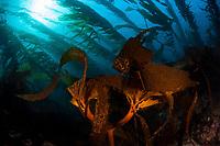 A kelp forest grows on a rocky bottom near the Santa Barbara Island, Channel Islands National Park, California, USA, Pacific Ocean