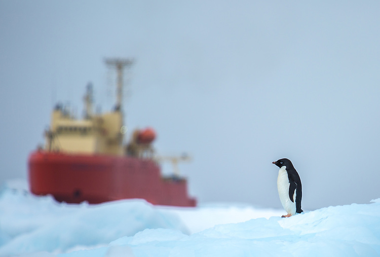 An Ad&eacute;lie penguin rests on an iceberg in Marguerite Bay, Western Antarctic Peninsula. This photo was taken during the NSF-funded Palmer Long Term Ecological Research (LTER) program cruise in January 2015. The cruise is conducted aboard the Antarctic Research and Support Vessel Laurence M. Gould. Our research group is conducting studies of marine vertebrates and their responses to rapid climate change in the Western Antarctic Peninsula region.<br /> <br /> Photo by: David W. Johnston, Assistant Professor of the Practice of Marine Conservation &amp; Ecology, Division of Marine Science and Conservation, Nicholas School of the Environment, Duke University Marine Laboratory.