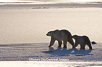 01874-12219 Polar Bear (Ursus maritimus) mother and cub near Hudson Bay  in Churchill Wildlife Management Area, Churchill, MB Canada