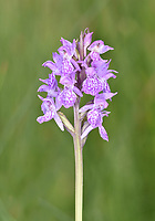 Pugley's Marsh Orchid - Dactylorhiza traunsteinerioides