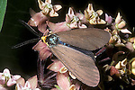 Virginia ctenucha moth, Ctenuca virginica on milkweed blossom