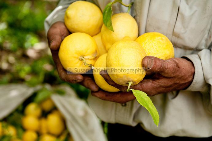 Amalfi Coast lemon 'Sfusato Amalfitano' protected with the IGP status, Amalfi, Italy