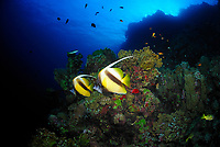 Couple of Red Sea bannerfish over a fire coral colony, fish, latin name Heniochus intermedius, Saint John's reef, Red Sea, Egypt
