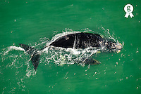 Southern right whale  (Eubalaena australis) breaching the surface, aerial view (Licence this image exclusively with Getty: http://www.gettyimages.com/detail/73014023 )