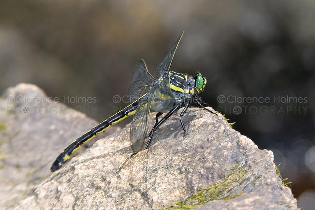 Dragonhunter (Hagenius brevistylus) Dragonfly, Ward Pound Ridge Reservation, Cross River, Westchester County, New York