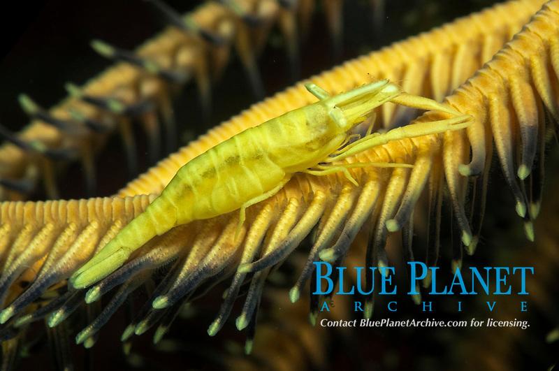 Ambon Crinoid Shrimp, Laomenes amboinensis, camouflaged on Crinoid, Comatulida Order, Bualo dive site, Manado, Sulawesi, Indonesia, Pacific Ocean