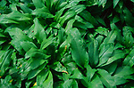 ADD2XC Ransom plants - wild garlic- showing leaves