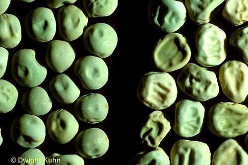 SE11-001a  Genetics - pea seeds genetic variation smooth vs wrinkled