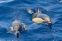 Common dolphins, Delphinus delphis, surfacing off La Gomera, Canary Islands, Northeast Atlantic Ocean