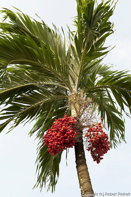 Fruits of Palm Tree, Ancon Hill, Panama, Central America