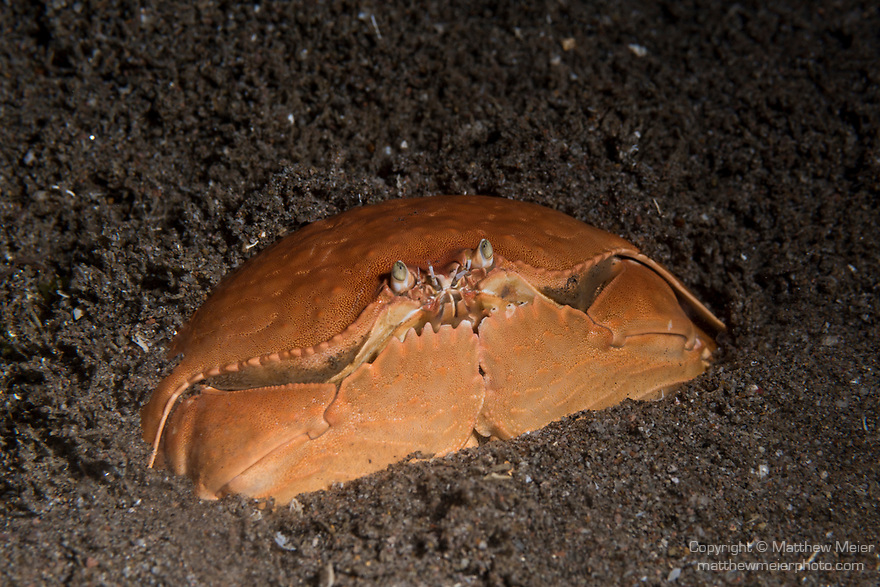 Dumaguete, Dauin, Negros Oriental, Philippines; a red box crab burries itself in the sandy bottom