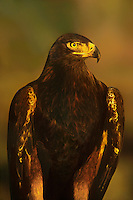 521090057 portrait of a captive golden eagle aquila chrysaetos in sunset light colorado