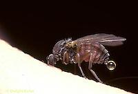 FS05-001c  Black Fly adult biting human, Maine - Simulium venustum.