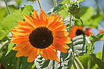 Colorful sunflowers in the garden of Nancy Siegler in Cameron Park, Calif...Planted as therapy and cheer for her bought fighting breast cancer.