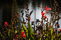 These bright red flowers were among the many colorful flowers planted as part of the renovation of  the so-called Duck Pond, the San Lorenzo Community Park east of San Francisco Bay.