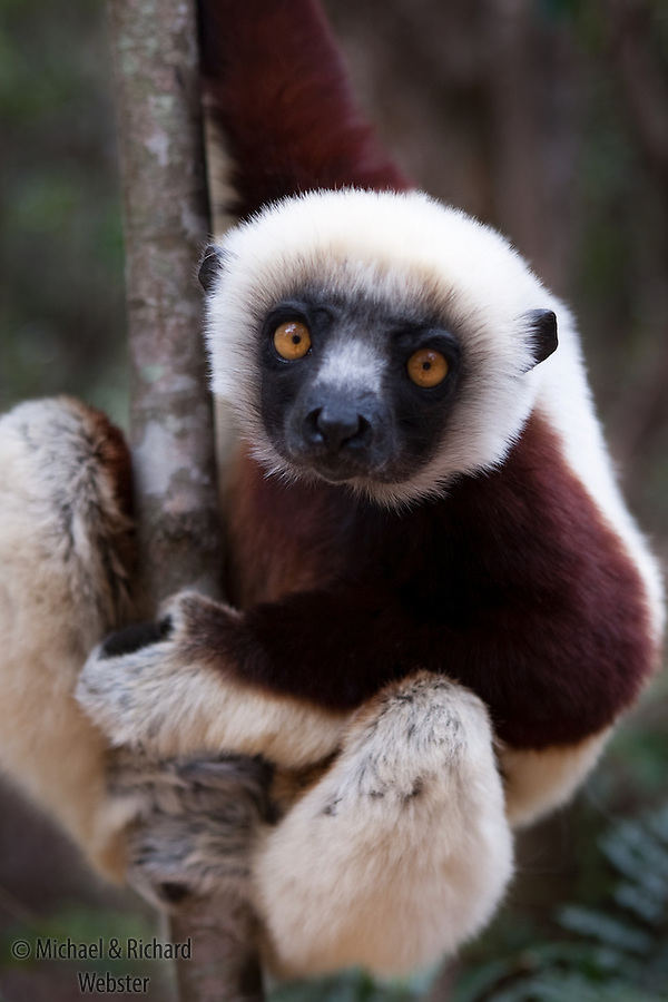 The Coquerels Sifaka( Propithecus verreauxi coquereli ) is a forest species to be found from the  Southern spiny forests to the western dry deciduous forests.  All three specias are Endangered due to habitat loss and hunting. Ankarafantsika, Madagascar.