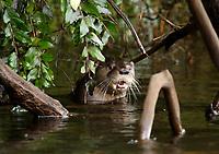 Chilean river otter, southern river otter, huillin, Lontra provocax, Chiloe Island, Chile, adult male, aggressive display