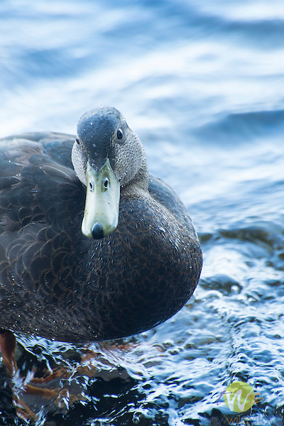 Female black duck. Moosehead Lake. ME.