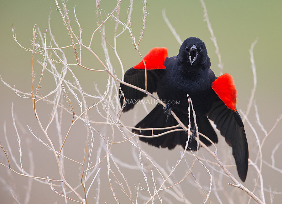 I had fun photographing the active and territorial Red-winged blackbirds at Camas National Wildlife Refuge.