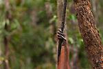 Bornean Orangutan (Pongo pygmaeus wurmbii) - hand