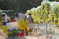 itinerant workers harvest wine grapes the Benson Vineyard located in the hills of the Lake Chelan Valley...