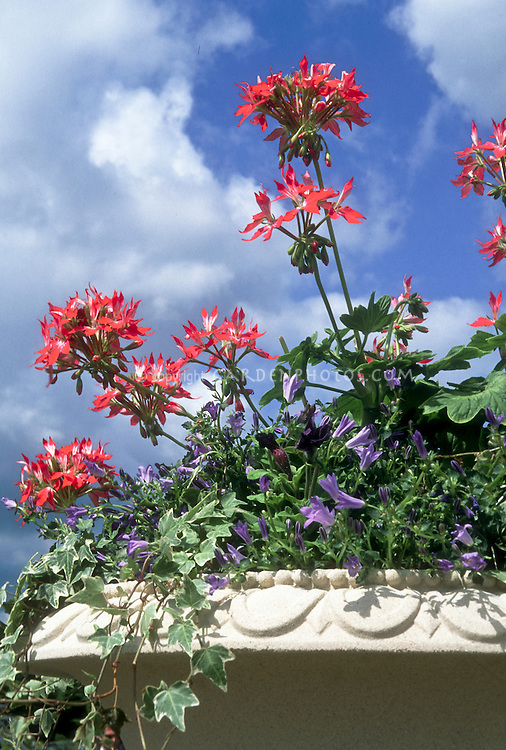 Annual ivy geranium (Pelargonium) flowers in pot container garden with blue sky and clouds, trailing Hedera vine, etc
