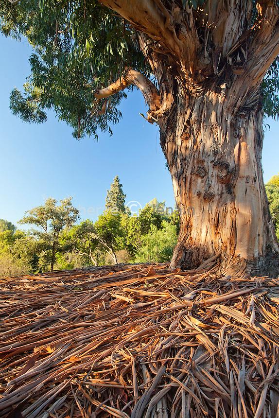 Domaine du Rayol en novembre : grand gommier bleu, Eucalyptus globulus et écorces exfoliées exposées au sol.