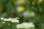 butterfly, Northwestern Fritillary, Speyeria hesperis, wildflower, cow parsnip, nature, foliage, insect, Cow Creek watershed, Rocky Mountain National Park, summer, Rocky Mountains, Colorado, USA