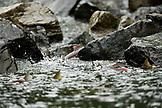 USA, Alaska, salmon spawning, Wolverine Cove, Redoubt Bay