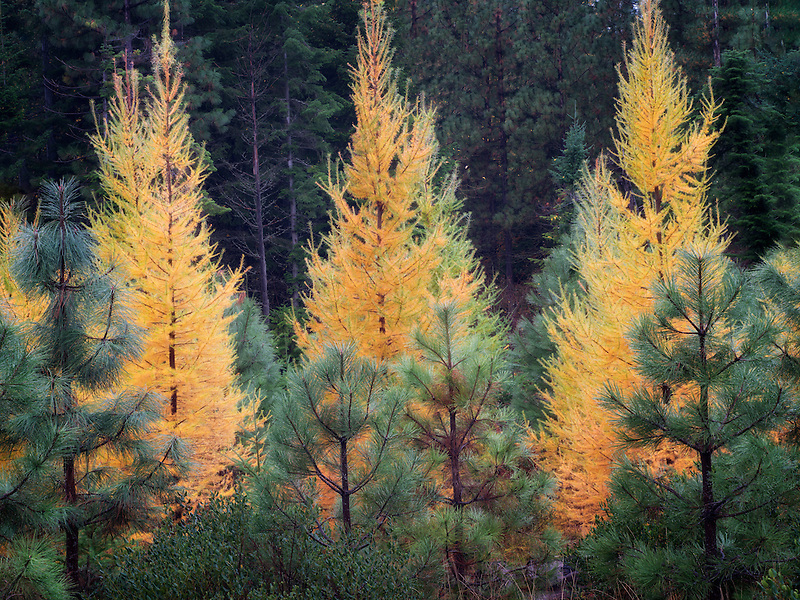 Fall colored Larch and Ponderosa Pine trees. Washington
