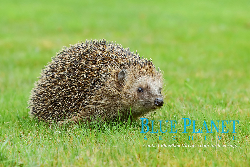 European hedgehog (Erinaceus europaeus), in a meadow, North Rhine-Westphalia, Germany, Europe