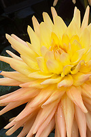 Dahlia 'Golden Impact' cactus type yellow orange apricot